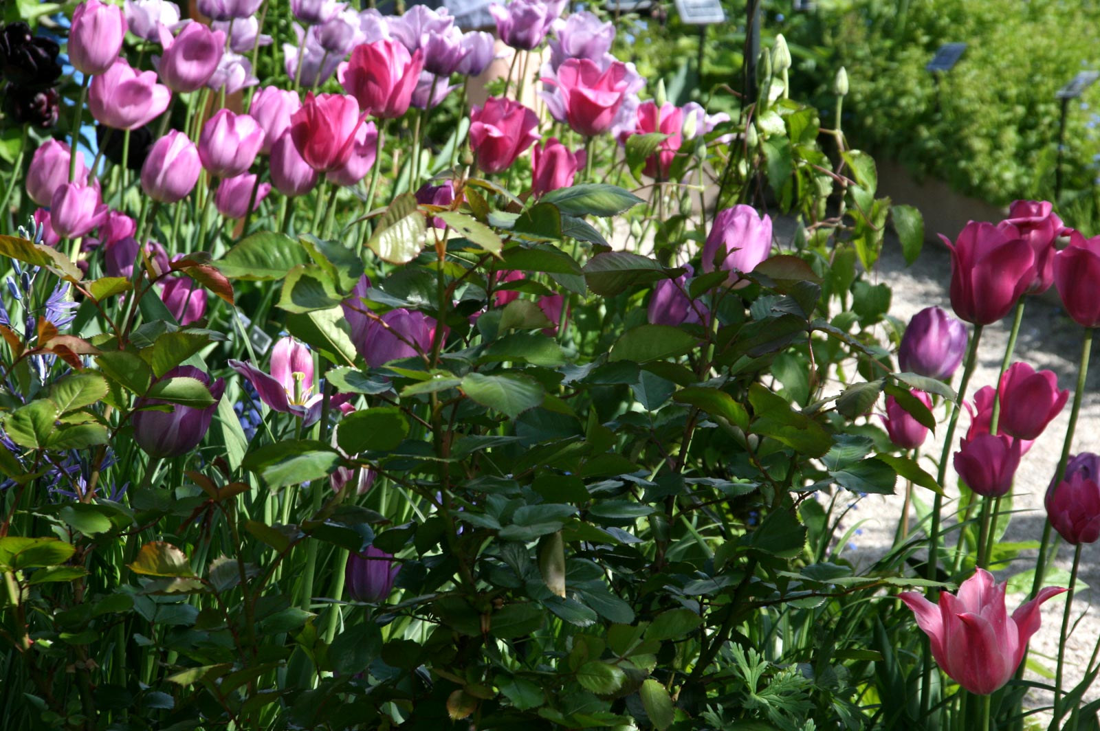Tulips dans in the Garden of Five Senses in Yvoire.