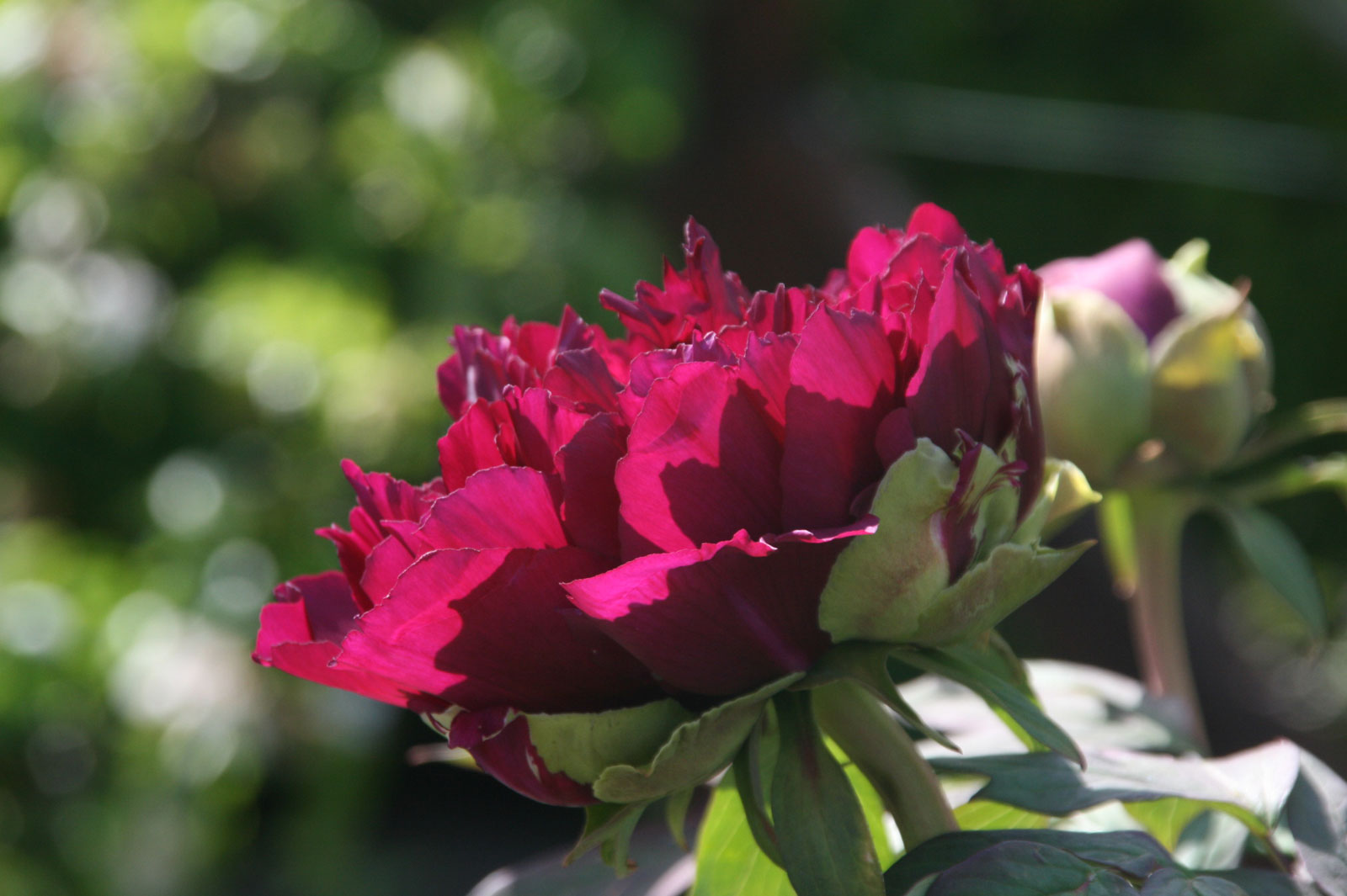 Garden of the Five Senses in Yvoire: the tree peony.