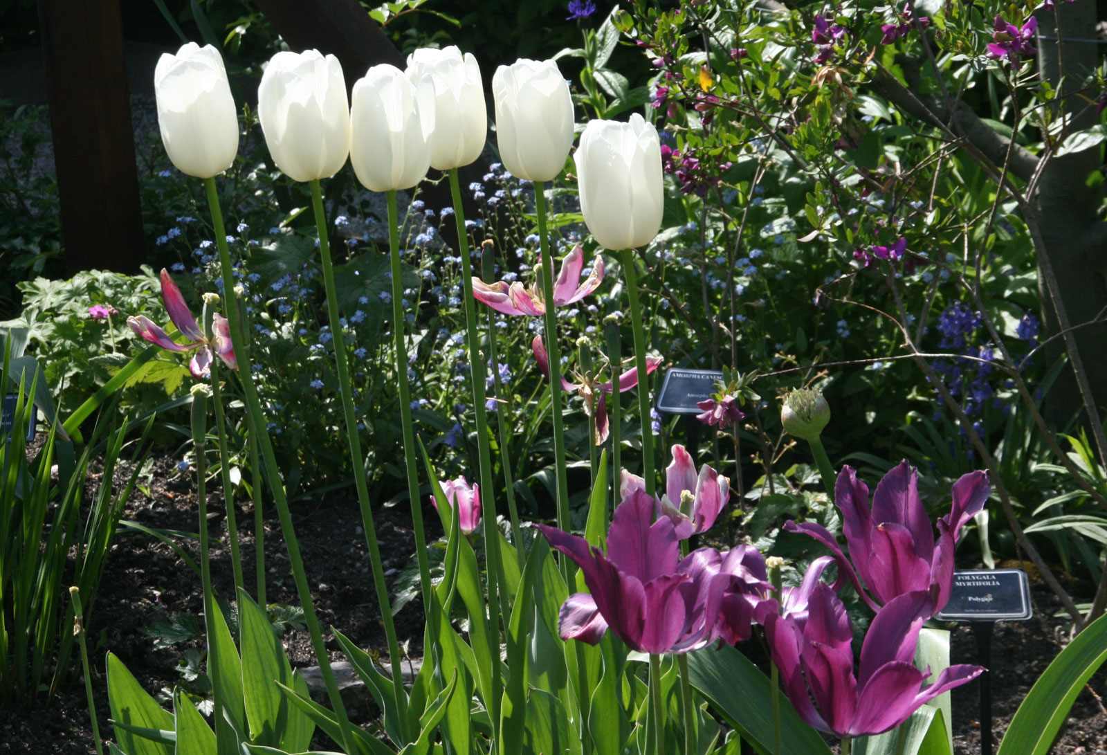 Garden of the Five Senses in Yvoire: the tulips.